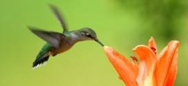 hummingbird קוליברי